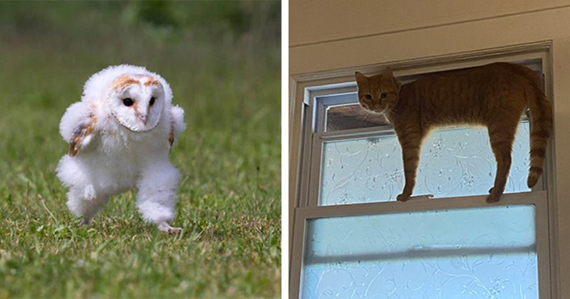 this week's collection of pictures that are worth more than 1000 words   thumbnail includes two pictures including an owl walking funnily and a cat halfway out of a window