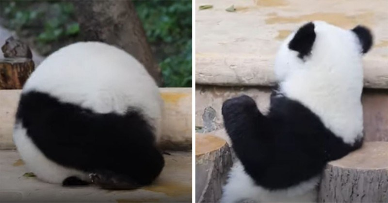 Panda Rolls Around To Get Nanny's Attention (Video)