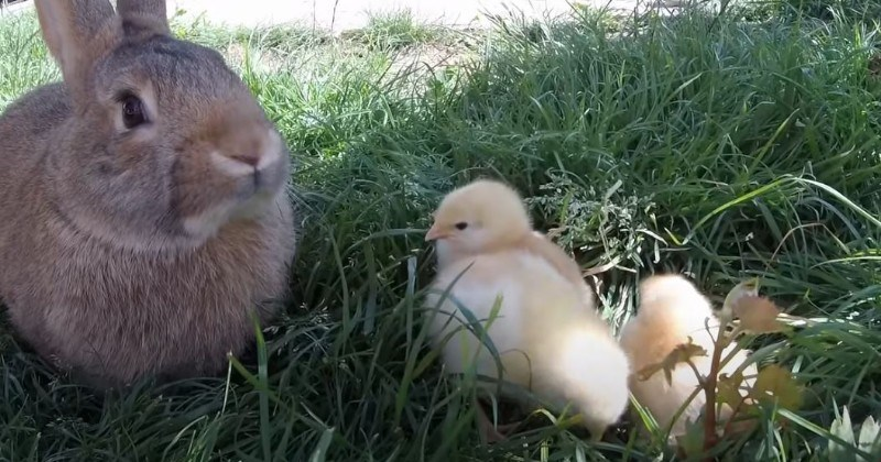 Rabbit Peacefully Chilling With Baby Chicks (Video)