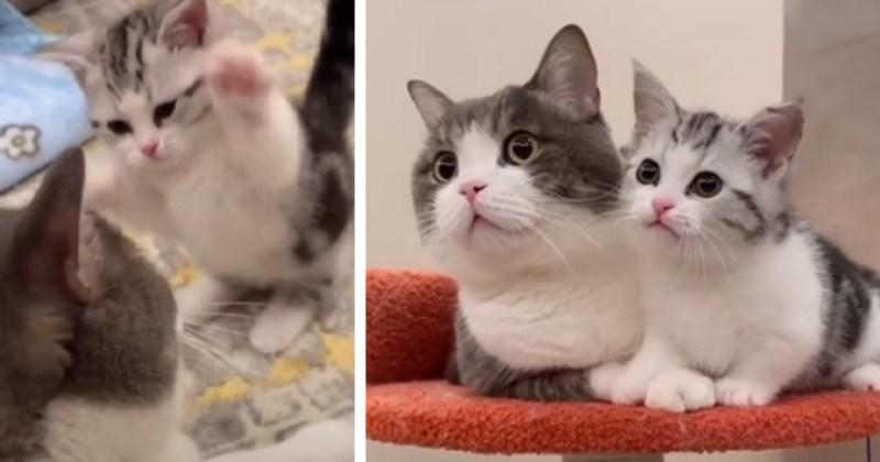 Super Hyper Kitten Cutely Nags Older Cat (Video)