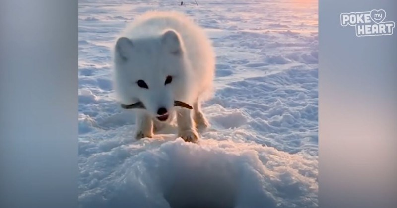 Awwdorable Baby Arctic Fox Steals Russian Fisherman's Fish (Video)