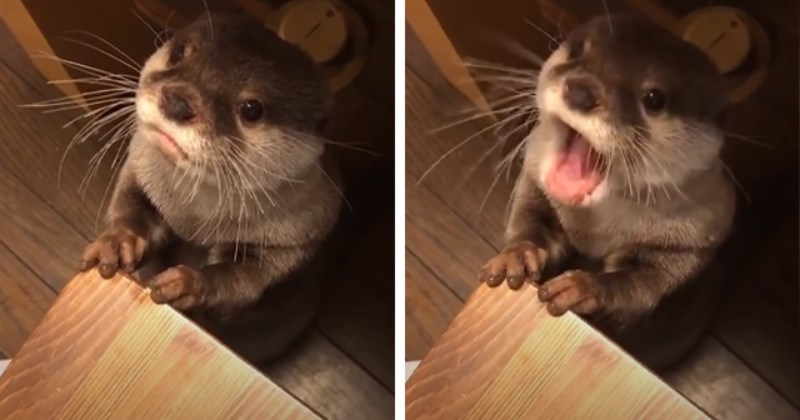 Otter Making The Cutest Noises When Asking For Food (Video)