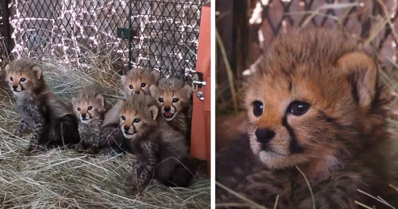 Rescue Of 5 Tiny Cheetah Cubs Who Tragically Lost Their Momma (Video)