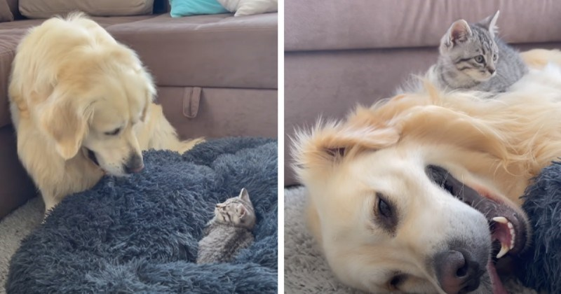 Doggo Shook And Confused By Kitten Occupying His Bed (Video)