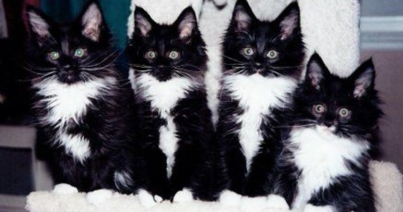 [Image: four-tuxedo-cats-with-black-fur-and-whit...and-chests]