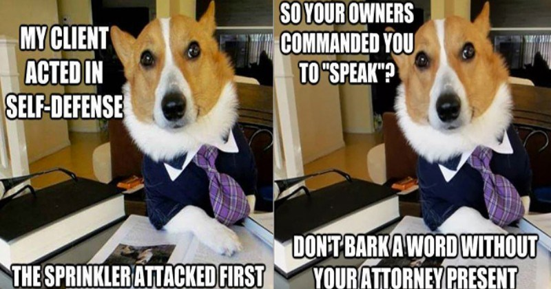 Doggo Lawyer Won T Rest Until The Defendant Is Free Of Charges I