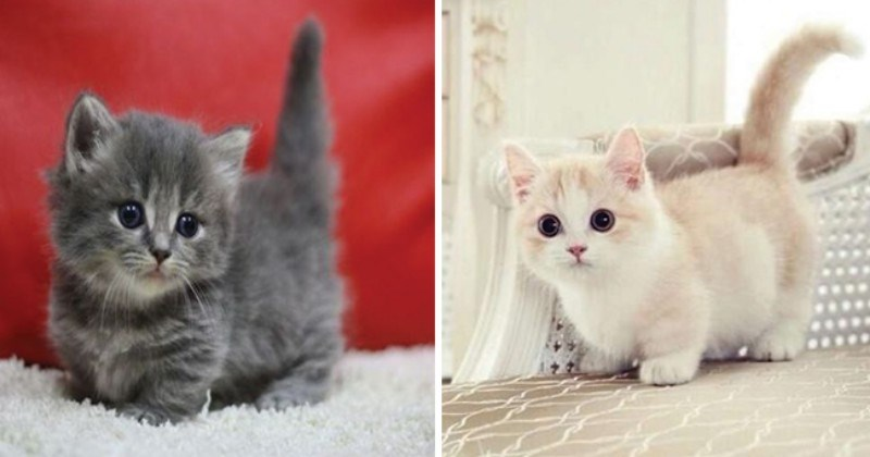 20 Munchkin Cats That Are The Sweetest Little Potatoes To Ever Grace Our Presence I Can Has Cheezburger