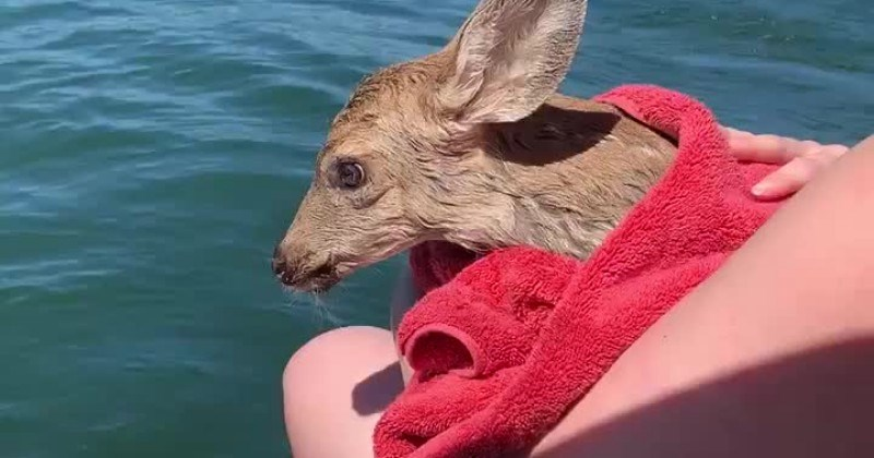 fawn deer rescue
