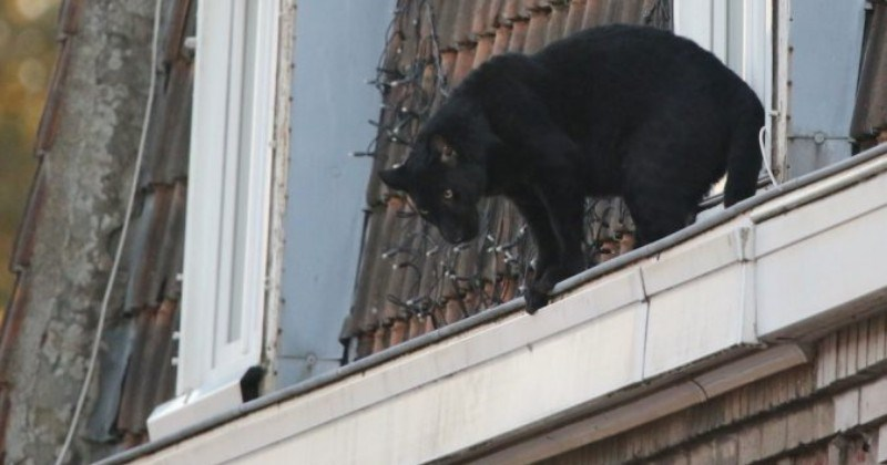 There Was A Black Panther Roaming Around Rooftops In France