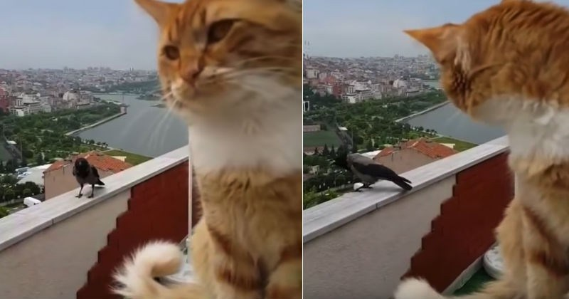 Video This Cat Talking To A Crow Is Strangely Relatable