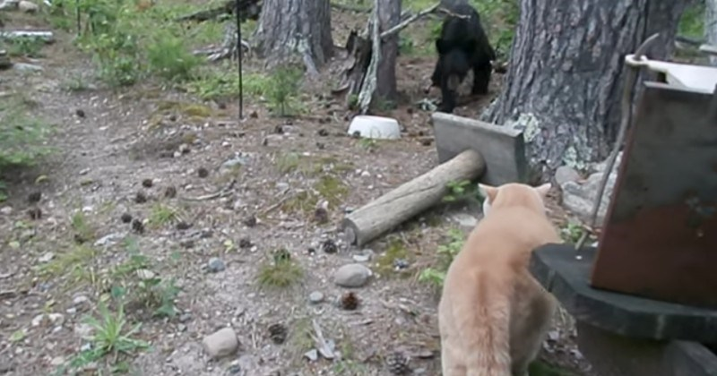 Video Badass Cat Chases Bear Up A Tree