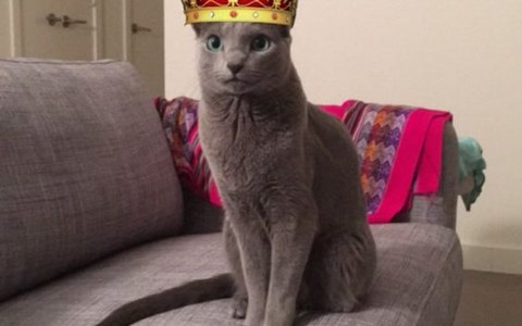 a picture of a grey cat wearing a red crown - cover photo for a list of cats that have managed to be the best at snapchat filters
