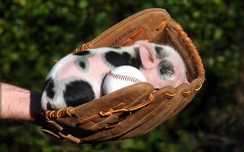 a very cute photo of a miniature pig sleeping in a baseball glove - cover for pictures of miniature pigs