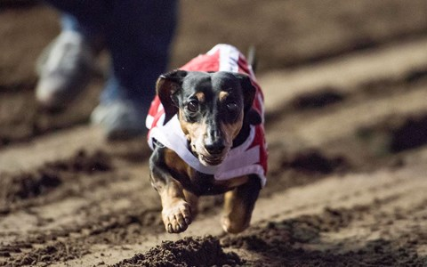 a dog running towards the camera - cover to a stroy about a weiner dog who was paralyzed but ended up being able to walk