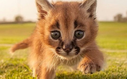 photos of caracal kittens